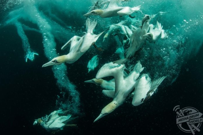 Gannets diving and feeding